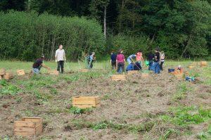 arbeiten gemeinsam_Kartoffelernte 2015